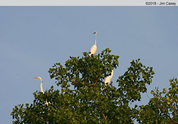Believe it or not I photographed these Great White Egrets smack in the middle of downtown Huntsville at an undisclosed location. Even more remarkable than getting these three in one frame is that there is a fourth in the top of the tree to the right.