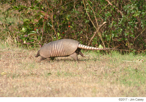 The invincible armadillo